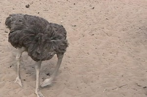 ostriches really do this???